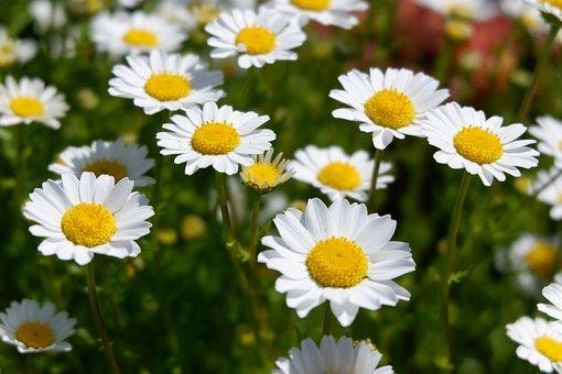 Flowers, White, Chrysanthemum, Spring, Flower Bed