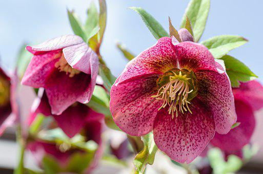 Anemone Blanda, Christmas Rose, Hellebore, Helleborus