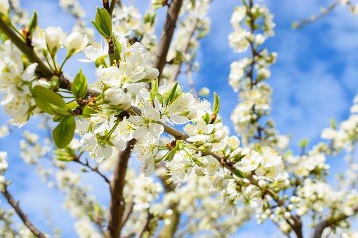 Plum Blossom, Flowers, Spring, Petals, Bloom, Blossom