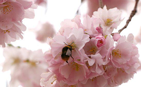 Flowers, Bumblebee, Hornet, Petals, Tree, Bloom