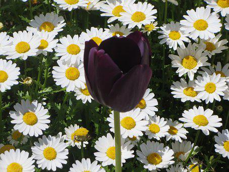 Daisies, Tulip, Contrast, Flowers, White Flowers, Bloom
