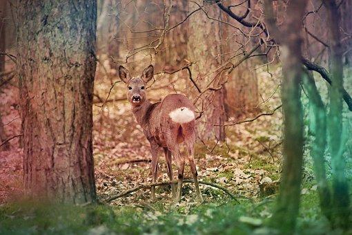 Deer, Ruminant, Fur, Goat, Female, Young, Portrait
