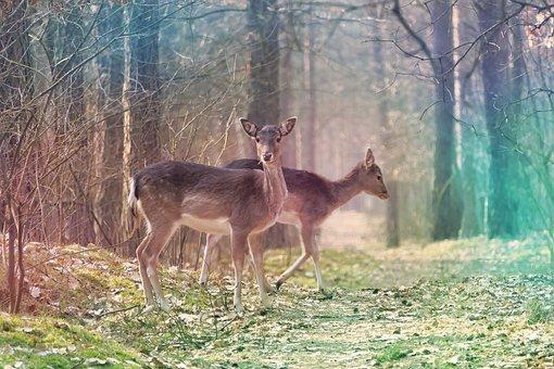 Fallow, Deer, Buscks, Ruminants, Females, Forest, Path