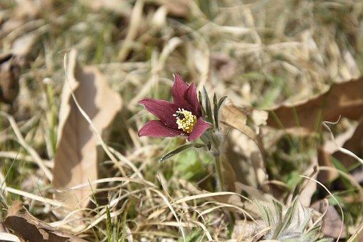 Pasqueflower, Flower, Plant, Grass