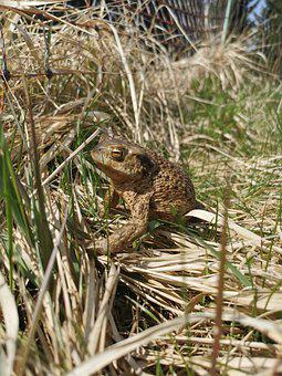 Frog, Toad, Amphibian, Meadow, Nature, Grass, Animal