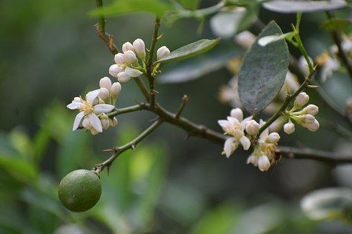 Lemon Tree, Fruit, Flowers, Buds, Lemon, Leaves, Citrus