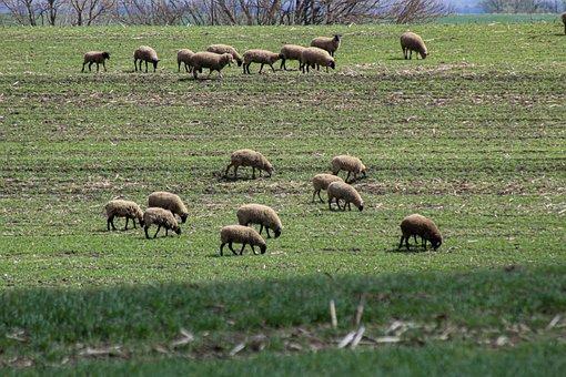 Sheep, Animals, Pasture, Grazing, Livestock, Mammals
