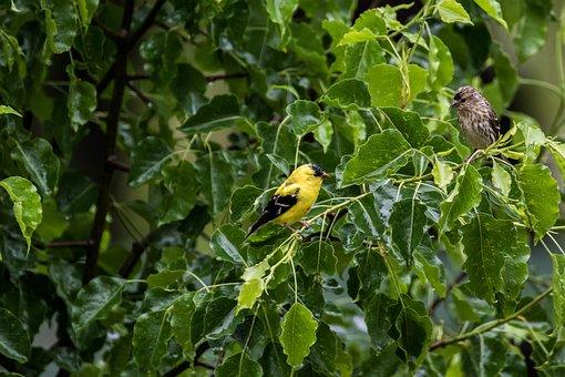 Rainy Day, Yellow Finch, Pine Siskin, Wildlife