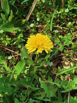 Dandelion Flower, Dandelion, Wildflower, Plants