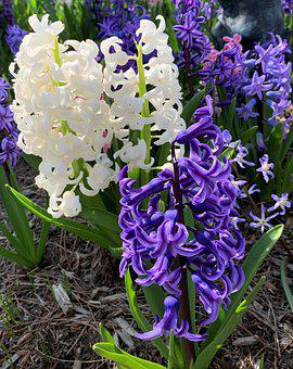 Hyacinths, Flowers, Purple Flowers, White Flowers
