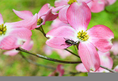 Beetle, Flowers, Dogwood, Bug, Insect, Spring, Plant