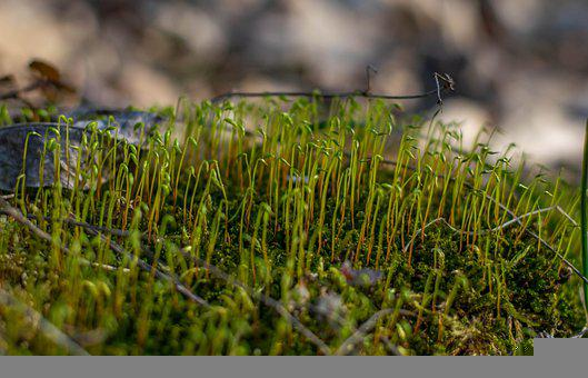 Moss, Spores, Plant, Grass, Forest, Growth, Spring