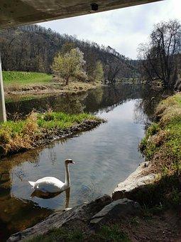 River, Swan, Bird, Waterfowl, White Swan, Water Bird