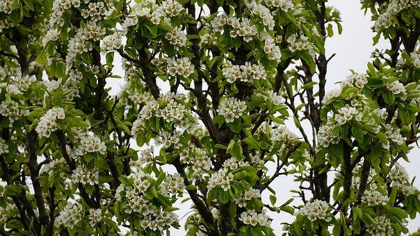 Pear, Flowers, Spring, Pear Blossom, Fruit Tree, White