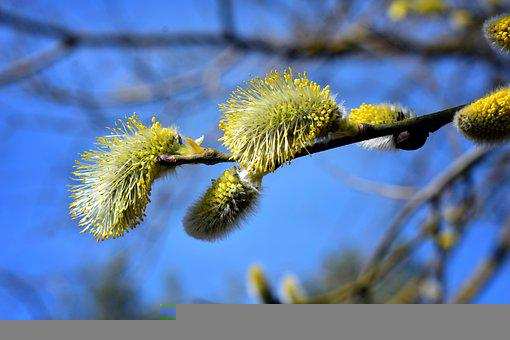 Willow, Catkins, Branch, Spring, Flowers