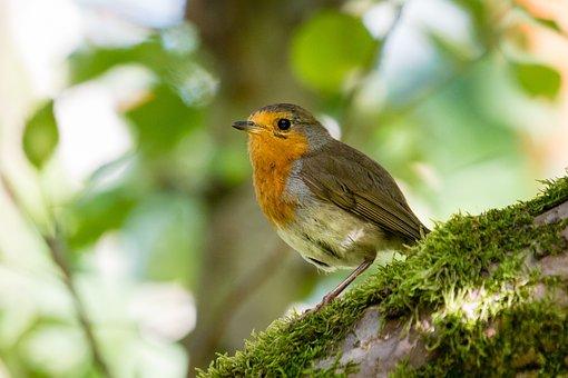 Bird, Robin, Songbird, Animal, Nature