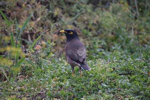 Myna, Bird, India, Starling, Beak