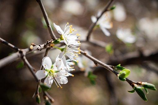 Avium, Bird-cherry, Blooming, Blossom, Botany, Branch
