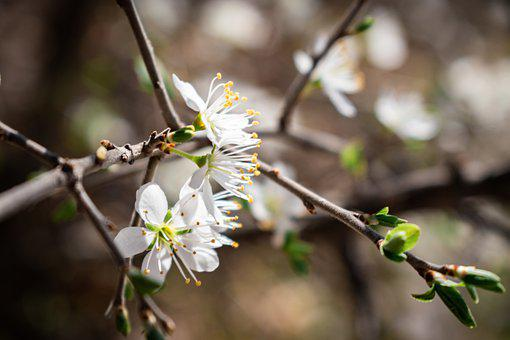 Avium, Bird-Cherry, Blooming, Blossom