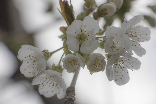 Cherry Blossom, Branch, Spring, Blossom, Bloom, Tree