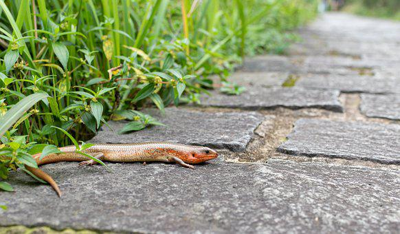 Lizard, Nature, Path, Conservation, Reptile, Animal