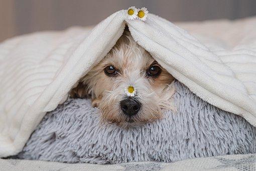 Dog, Blanket, Flowers, Head, Face, Snout, Pet, Furry