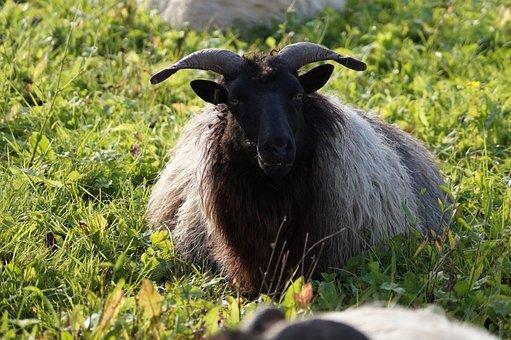 Sheep, Soccer, Livestock, Animal, Green, Wool, Meadow