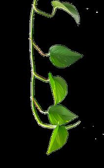 Green Plant, Ranke, Houseplant, Leaves