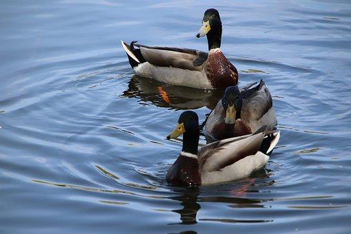 Ducks, Mallards, Lake, Birds, Waterfowls, Water Birds