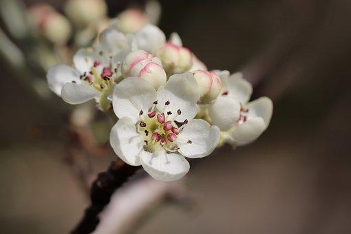 Pear Blossom, Flowers, Spring, White Flowers, Bloom