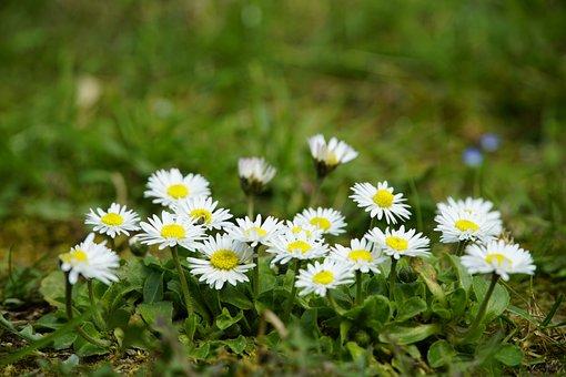 Bellis Perennis, Daisies, Perennial, Meadow, Flowers