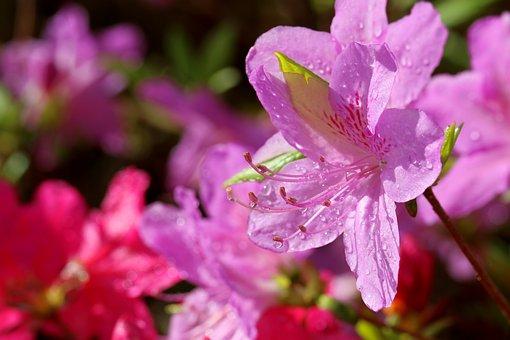 Azalea, Flower, Pink, Petals, Bloom, Blossom