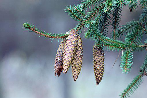 Cones, Pine Cone, Forest, Nature, Tree, Spruce, Branch