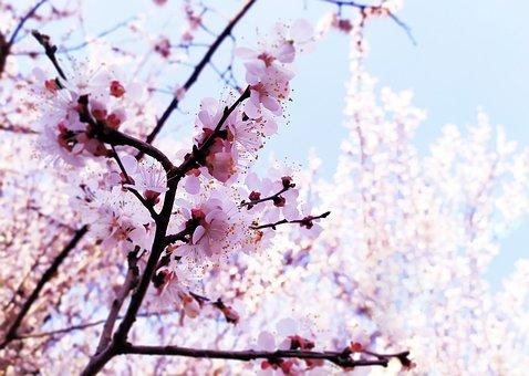 Plum Blossom, Flowers, Spring, Pink Flowers, Petals