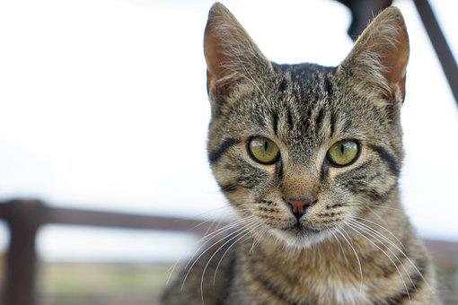 Cat, Tabby, Head, Pet, Animal, Whiskers, Domestic Cat