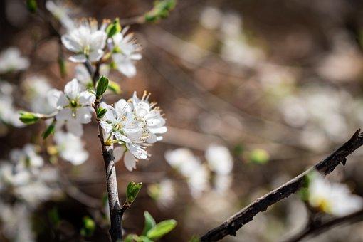 Bird Cherry, Flowers, Spring, Avium, White Flowers