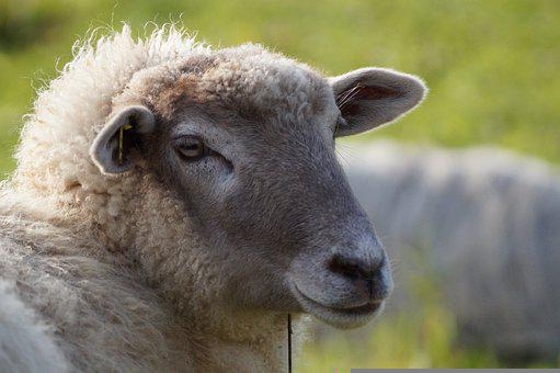 Schaaf, Soccer, Livestock, Animal, Green, Wool, Meadow