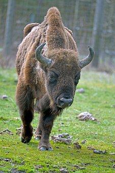 Wisent, Animal, Pasture, European Bison, Bison, Bull