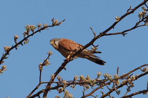 Kestrel, Bird, Branch, Perched, Falcon, Bird Of Prey