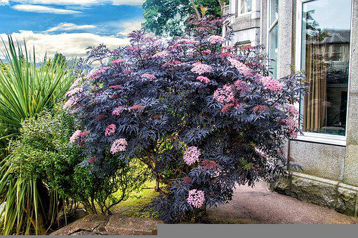 Black Lilac, Shrub, Plant, Nature, Flowers, Garden