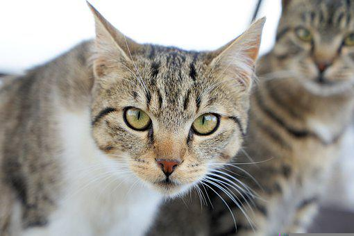 Cat, Pet, Face, Whiskers, Head, Animal, Domestic Cat