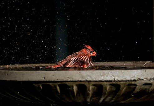 Cardinal, Bird, Bath, Animal, Wildlife, Feathers