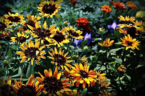 Flowers, Plants, Garden, Black-eyed Susan, Rudbeckia