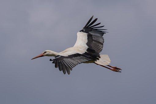 Stork, Bird, Flying, Sky, Animal, Wading Bird