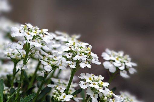 Flowers, Plant, Garden, Alyssum, Alisso