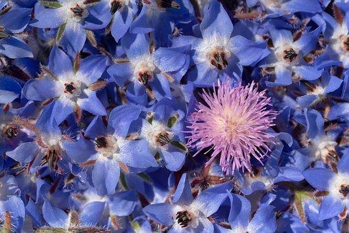 Flowers, Plants, Garden, Borage, Star Flowers