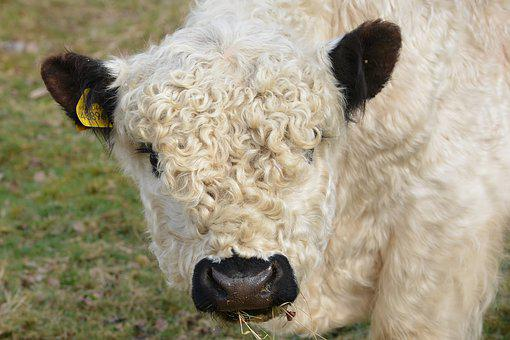 Cow, Calf, Head, Young Animal, Livestock, Cattle