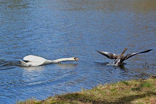 Swan, Greylag Goose, Birds, Lake, Breed, Revier Fight