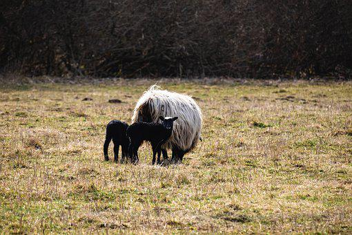 Sheep, Lambs, Meadow, Livestock, Young Animals, Animals