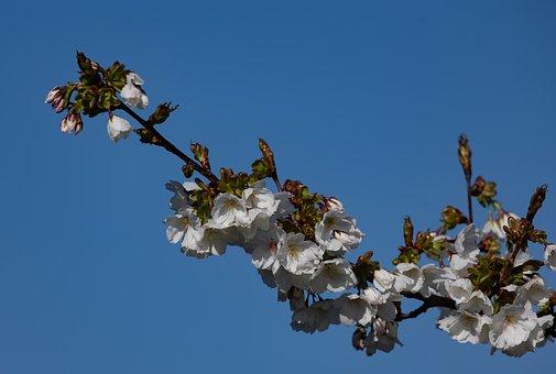 May Blossom, Blossom, Tree, Spring, Branch